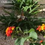 бабочка бражник-хоботник