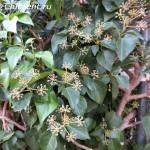 цветение плюща