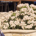 карликовый олеандр