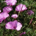 розовый вьюнок 1