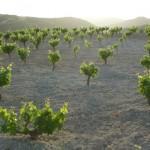 Виноградники на расcвете