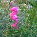 Gladiolus byzantinus