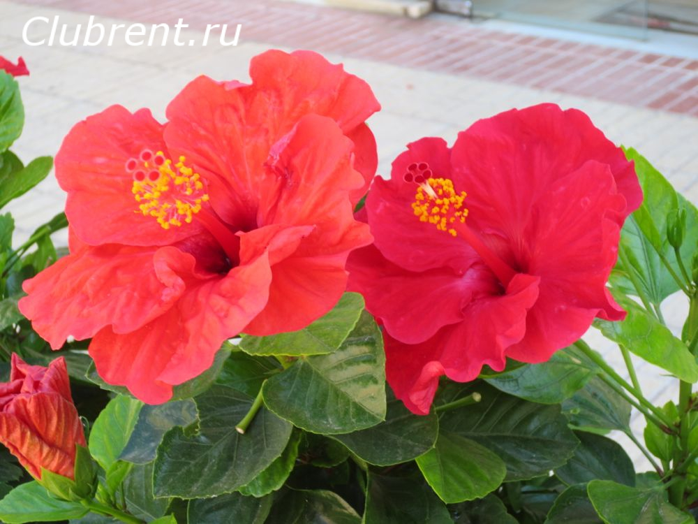 китайскую роза фото