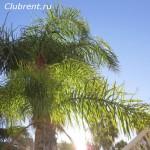Пальма Водиетия