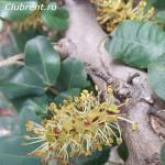 рожковое дерево, цветение