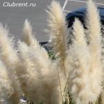 Трава пампасов
