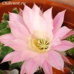 Розовый эхинопсис гибридный
