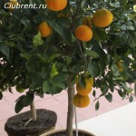 апельсин 1